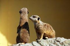 Suricata im Zoo Stockfotos