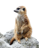 Suricata isolated Stock Photography