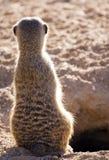 suricata meercat Стоковая Фотография