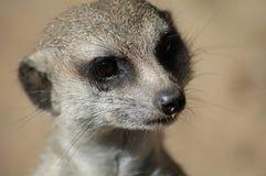 Suricata meerkat Stock Afbeeldingen