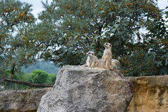 Suricata. In the nature of ZOO Prague Stock Images
