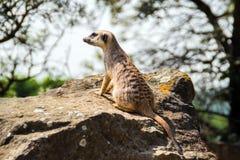 Suricata patrzeje naprzód w Praga zoo Obrazy Royalty Free