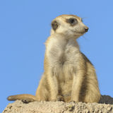 Suricata on a rock. Stock Photo