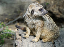 Suricata Royalty Free Stock Photography