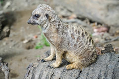 Suricata Royalty Free Stock Photo