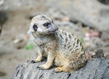Suricata Stock Photos