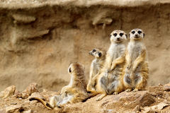 Suricata suricatta. Family of Suricata looking for visitors in ZOO Royalty Free Stock Photos