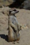 Suricata suricatta Stockfoto