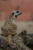 Suricata suricatta Lizenzfreie Stockbilder