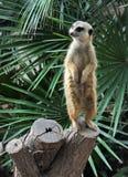Suricata suricatta Obraz Stock