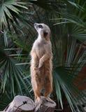 Suricata suricatta Zdjęcie Royalty Free