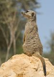 Suricata suricatta Lizenzfreies Stockbild