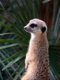 Suricata suricatta Stock Photos