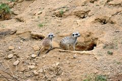 Suricata Suricatta Couple Snout Stock Photo stock images
