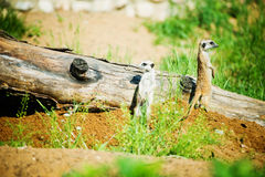 Suricata suricatta family, Stock Photo