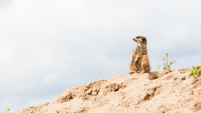 Suricata suricatta, grey sky Royalty Free Stock Images