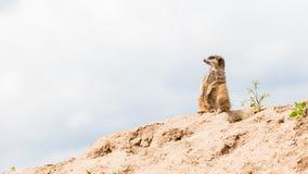 Suricata suricatta, grey sky Royalty Free Stock Images