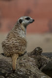 Suricata suricatta Royalty Free Stock Images