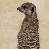 Suricata suricatta Royalty Free Stock Image