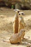 Suricata suricatta Stock Images