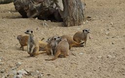 Suricata suricatta Stock Photography