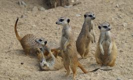 Suricata suricatta Royalty Free Stock Photography