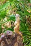Suricata suricatta, Meerkat obrazy royalty free