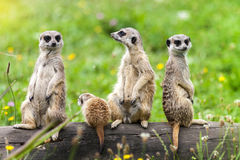 Suricata Suricatta Meerkat Animals Family. Sitting on Log stock photography