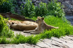 Pride rests before the hunt, young male Asian lion and female Stock Photography