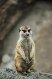 Suricata suricatta Royalty Free Stock Photo