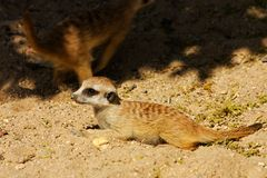 Suricata suricatta. Meerkat watching their surroundings, suricata is in the sand Royalty Free Stock Photos