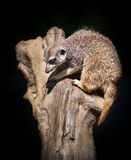 Suricata suricatta Royalty Free Stock Photos