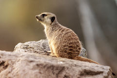 Suricata Suricatta - Small Animal. Portrait royalty free stock images