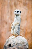 Suricata suricatta standing on the stone. Meerkat guarding the family. Royalty Free Stock Images