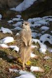 Suricata suricatta Stock Photo