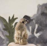Suricata sveglio Suricatta di Meerkat sulla pietra Fotografia Stock