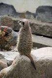 Suricata sveglio Suricatta di Meerkat sulla pietra Immagine Stock Libera da Diritti