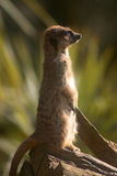 Suricata on a tree trunk Royalty Free Stock Photography
