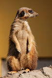 Suricata in the zoo Royalty Free Stock Photo