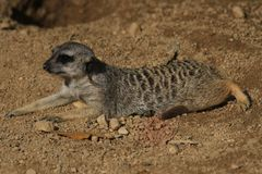 suricata zwierzę w piasku obraz stock