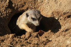 suricata zwierzę w piasku zdjęcie stock