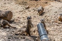 Suricatas - animais macios pequenos engraçados imagens de stock royalty free