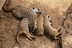 Suricatas - grappige kleine pluizige dieren royalty-vrije stock afbeeldingen