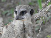 Suricate保留一只注意眼睛的海岛猫鼬类suricatta 免版税库存照片