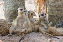 Suricate或meerkat家庭 库存图片