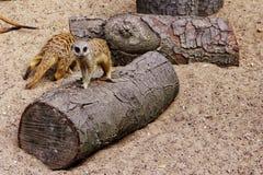 Suricate στο ζωολογικό κήπο Στοκ Εικόνες
