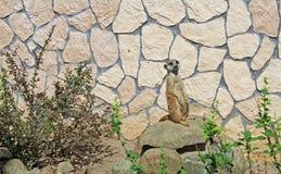 Suricate в зоопарке Стоковое Изображение