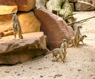Suricate или семья meerkat на теплом песке Стоковое фото RF