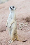 Suricate или meerkat Стоковое фото RF