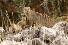suricate семьи Стоковая Фотография
